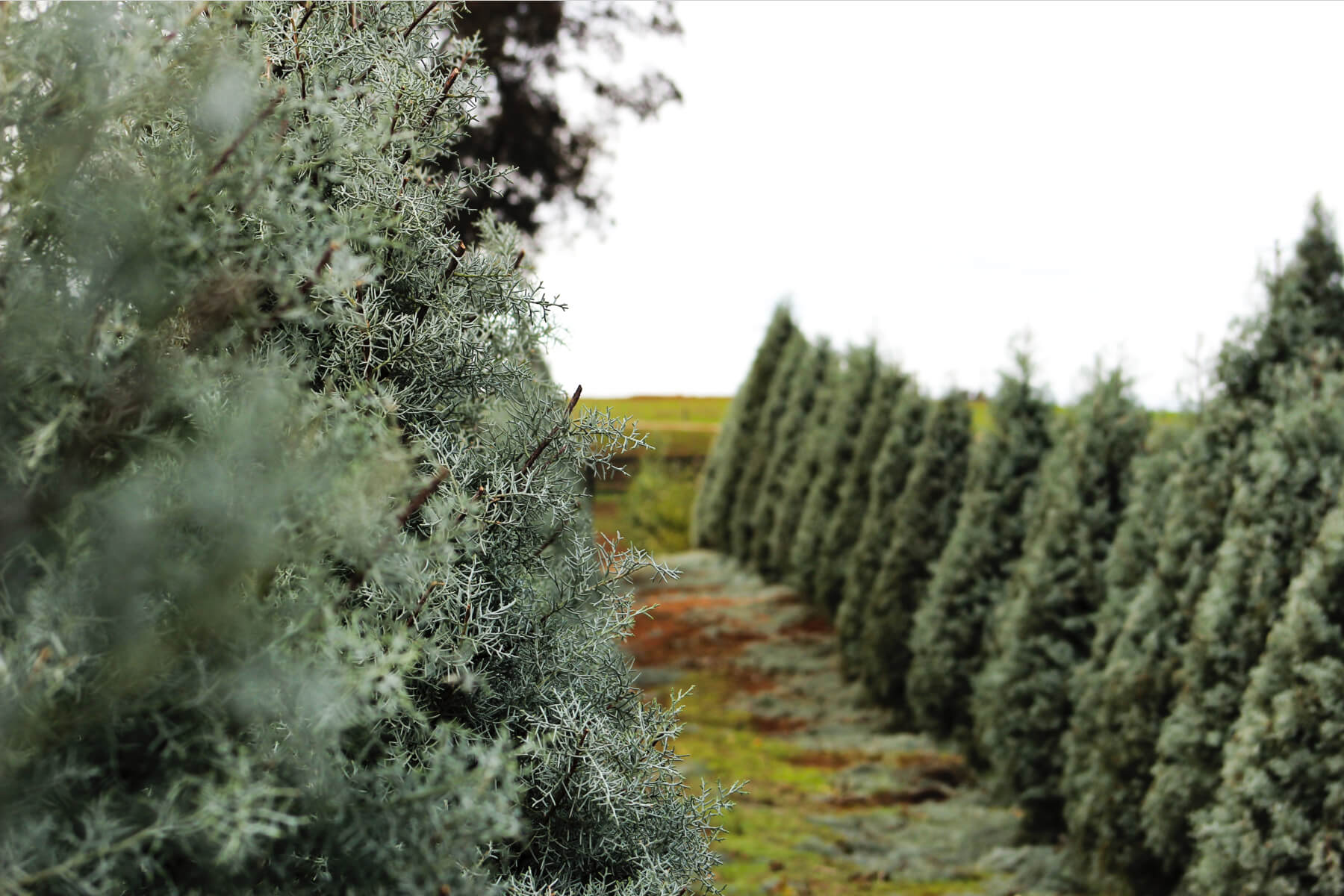 head to a Christmas farm to celebrate covid christmas safely in 2020 featuring an image of an evergreen tree farm